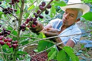 cafeteros-colombianos-cambio-climatico